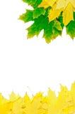 Lames d'érable d'automne Image stock