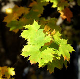 Lames d'érable d'automne Photos libres de droits