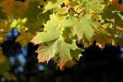 Lames d'érable d'automne Photos stock