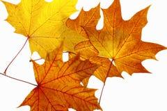 Lames d'érable d'automne Images libres de droits