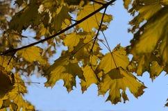 Lames d'érable d'automne contre le ciel Photos libres de droits