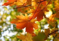 Lames d'érable d'automne d'automne Image libre de droits