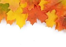 Lames d'érable d'automne d'isolement sur le blanc Photo stock