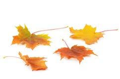 Lames d'érable d'automne d'isolement sur le blanc Image libre de droits