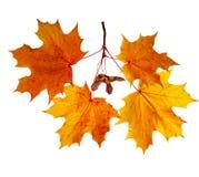 Lames d'érable d'automne d'isolement sur le fond blanc Photographie stock libre de droits