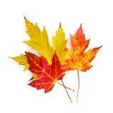 Lames d'érable d'automne sur le blanc Photo libre de droits