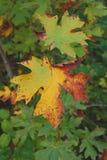 Lames d'érable dans l'automne Photos libres de droits