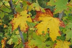 Lames d'érable dans l'automne Photos stock