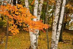 Lames d'érable de couleur et arbres de bouleau Photographie stock