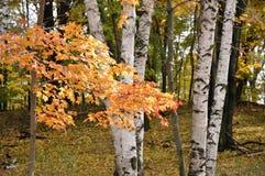 Lames d'érable de couleur et arbres de bouleau Photos stock