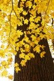Lames d'érable en automne photos stock