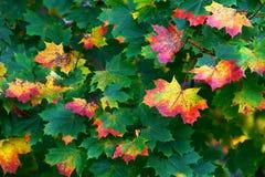 Lames d'érable en automne Image stock