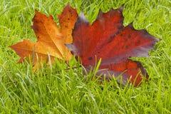 Lames d'érable en automne Image libre de droits