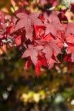 Lames d'érable en automne Photos libres de droits