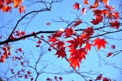 Lames d'érable en automne Images libres de droits