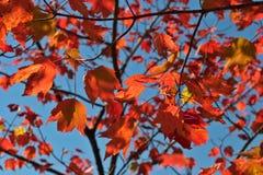 Lames d'érable rouge Photographie stock
