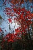 Lames d'érable rouge Photo libre de droits
