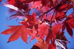Lames d'érable rouge photos stock