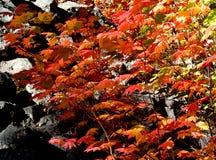 Lames d'érable rouge dans l'automne Images libres de droits