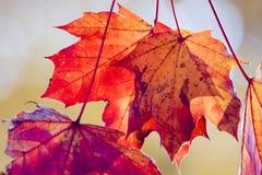 Lames d'érable rouge sèches en automne Image stock