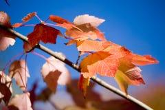Lames d'érables rouges et ciel bleu en automne photographie stock libre de droits
