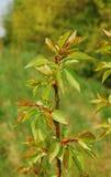 Lames d'abricotier de Tyrinthos au printemps Photographie stock libre de droits