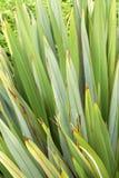 Lames d'agaves de fond Image libre de droits