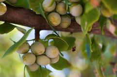 Lames d'arbre de Biloba de Gingko Photo libre de droits