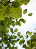Lames d'arbre de hêtre Images stock