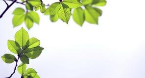 Lames d'arbre de hêtre Photo libre de droits