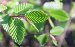 Lames d'arbre de hêtre de source Photos stock