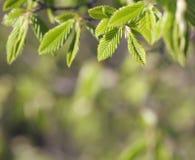 Lames d'arbre de hêtre de source Photographie stock libre de droits