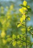 Lames d'arbre de hêtre de source Photographie stock