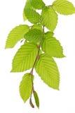 Lames d'arbre de hêtre (Fagus) au printemps Photographie stock libre de droits
