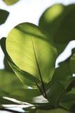 Lames d'arbre de Kandoo (nymphaeifolia de Hernandia) images stock