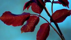 Lames d'arbre de Rose Image libre de droits