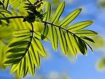 Lames d'arbre de sorbe au printemps images stock