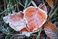 Lames d'Aspen dans le gel Image stock