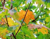 Lames d'automne colorées Images libres de droits
