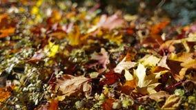 Lames d'automne colorées banque de vidéos