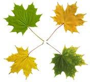 Lames d'automne colorées d'isolement sur le blanc. Photographie stock
