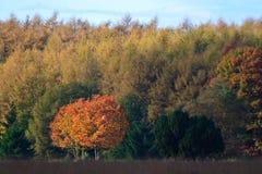 Lames d'automne colorées sur des arbres Images libres de droits