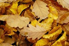 Lames d'automne d'or Photo libre de droits