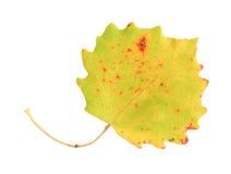 Lames d'automne d'un tremble, première surface image libre de droits