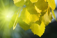 Lames d'automne de tremble photographie stock