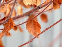 Lames d'automne givrées prolongées Images stock
