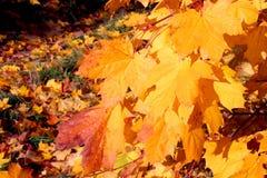 Lames d'automne jaunes Photos stock