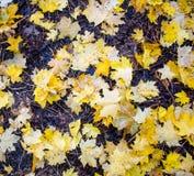 Lames d'automne jaunes Images stock
