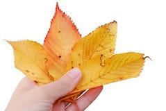 Lames d'automne jaunes Image libre de droits