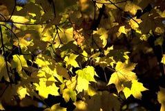 Lames d'automne jaunes photographie stock libre de droits